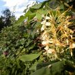 14 september 2015 Hedychium ( gemberplant)